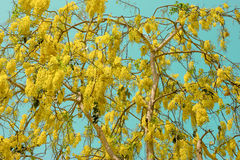 Golden Shower or Cassia Fistula in Cyan sky,national tree of Tha Stock Photography