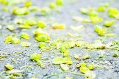 Golden shower , Cassia fistula ,Fabaceae. Golden shower or Cassia fistula or Fabaceae  flowers Royalty Free Stock Image