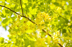 Golden shower , Cassia fistula ,Fabaceae Royalty Free Stock Photo