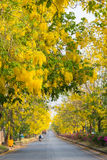 Golden shower or Cassia fistula flower in the garden or nature park at Khon Kaen Province in Thailand Stock Photography