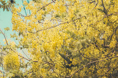 Golden shower or Cassia fistula flower vintage Stock Photos