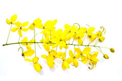 Golden shower(Cassia fistula). Isolate on white background stock image