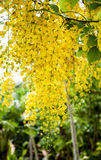 Golden shower or Cassia fistula Royalty Free Stock Images