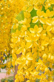Golden shower, Cassia fistula Stock Photography