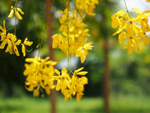 Golden shower (Cassia fistula), yellow flower national flower of Thailand Royalty Free Stock Photos