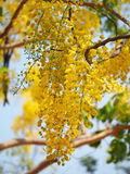 Golden shower (Cassia fistula), yellow flower national flower of Thailand Royalty Free Stock Images
