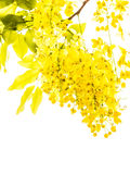 Golden shower flower Royalty Free Stock Photos