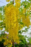 Golden shower flower. Bloom in Thailand Stock Image