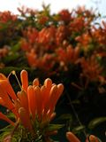 Golden Shower Flower royalty free stock photo