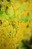 Golden shower flower Stock Photos