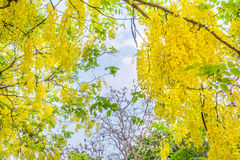 Golden Shower flower in Chiang mai Thailand Stock Photos
