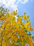Golden Shower Flower. Golderln Shower Tree with Clear Sky Stock Photo