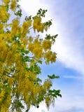 Golden Shower Flower. Golden Shower Tree royalty free stock images
