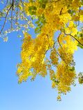 Golden Shower Flower. Golden Shower Tree royalty free stock photography