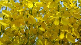 Golden shower flower Stock Image