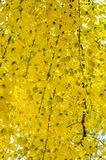 Golden shower flower Stock Photo