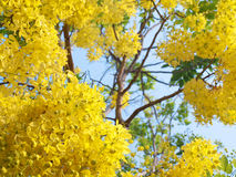 Golden shower flowers. Golden shower tree National Tree of Thailand, Cassia fistula, Family Fabaceae Royalty Free Stock Images
