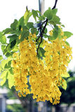 Golden shower flowers Royalty Free Stock Photo