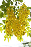 Golden shower flowers Royalty Free Stock Image