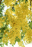 Golden shower flowers Royalty Free Stock Images