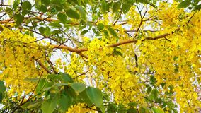 Golden Shower flowers blooming on the tree.