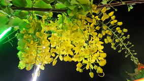 Golden Shower flowers in the dark  night Stock Photos