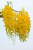 Golden shower flowers Stock Images