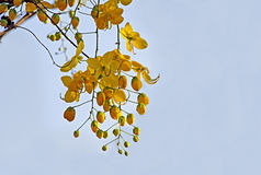 Golden Shower Flowers in Tree Stock Images