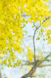 Golden shower flowers , yellowe flowers in summer thailand Royalty Free Stock Photography