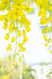 Golden shower flowers , yellowe flowers in summer thailand Royalty Free Stock Photo