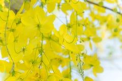 Golden shower flowers , yellowe flowers in summer thailand Stock Image