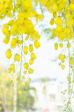 Golden shower flowers , yellowe flowers in summer thailand Royalty Free Stock Photos