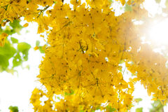 Golden shower. House is a medium-sized tree, Flower is the national flower of Thailand, Parts of the House useful Royalty Free Stock Photo
