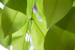 Golden shower leaf Stock Images
