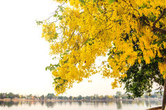 Golden Shower, Purging Cassia ( Cassis fistula Linn ) Royalty Free Stock Photography