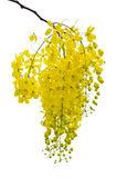Golden Shower, Purging Cassia ( Cassis fistula Linn ). National flower of Thailand on white background stock photo