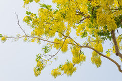 Golden shower  or Scientific name Cassia fistula Royalty Free Stock Photography