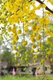 Golden shower stalk green flowers. Royalty Free Stock Image