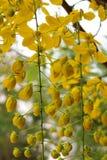 Golden shower stalk green flowers. Stock Photos