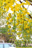 Golden shower stalk green flowers. Royalty Free Stock Photography