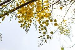 Golden shower stalk green flowers. Royalty Free Stock Photo