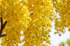 Golden shower Royalty Free Stock Image
