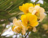 Golden shower. Thai flowers spring tropical Cassia fistula Royalty Free Stock Photos