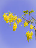 Golden shower, Thai national flower, against blue sky background Stock Photo