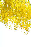 Golden Shower tree. Outdoor flower form Royalty Free Stock Image