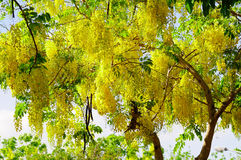 Golden Shower Tree Royalty Free Stock Photography