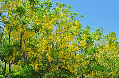 Golden Shower Tree Stock Photo