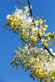 Golden Shower Tree Art Print Royalty Free Stock Image