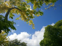 Golden shower tree. And a beautiful sky Stock Photography