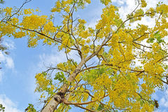 Golden shower tree, beautiful yellow flower name is Ratchaphruek Royalty Free Stock Photo